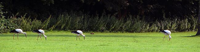 De ooievaars in Sloterpark Amsterdam, op het grasveld naast de Sloterplas)