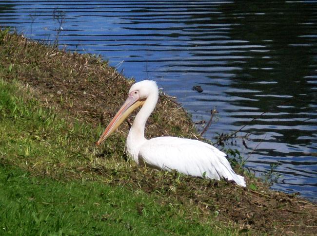 Uit Artis ontsnapte pelikaan aan de Sloterplas