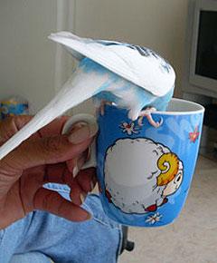 Grasparkiet Pietje is een echte koffieleut (hij drinkt de koffie niet echt hoor)