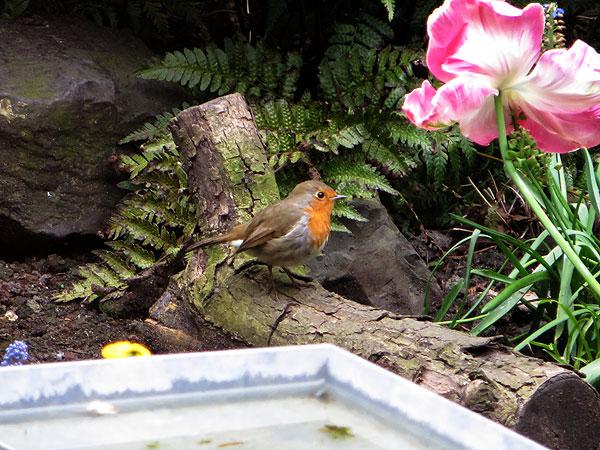 Roodborstje op zoek naar nestmateriaal