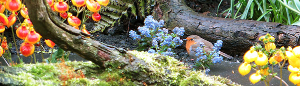 Roodborst scharrelt door de tuin, op zoek naar nestmateriaal