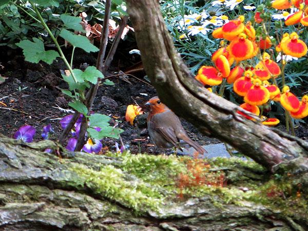 Roodborst met allerlei troepjes in de bek om het nest mee op te bouwen