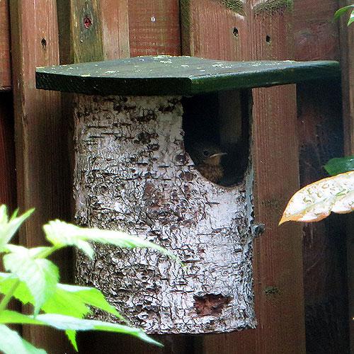 De jonge roodborstjes (12 dagen oud) laten zich zien - balkonscène