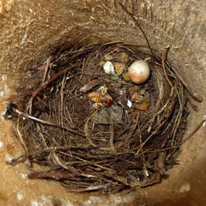 Nest van roodborstjes - de overblijfselen (ook 1 eitje)