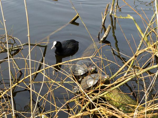 De roodwangschildpadden in Heemtuin Sloterpark zijn weer uit de modder gekropen!