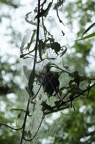 Rupsen maken met hun spinsel beschermende kraamkamers.