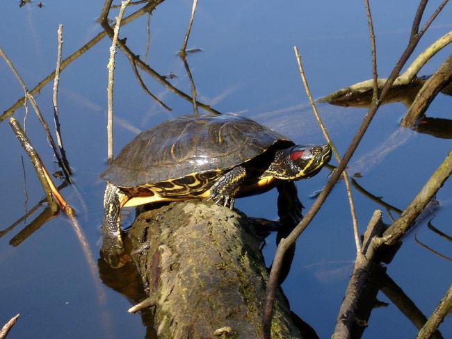 Schildpad (roodwangschildpad) op een stammetje in de zon