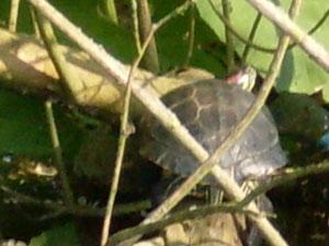 Schildpadden in Sloterpark tijdens vaarexcursie