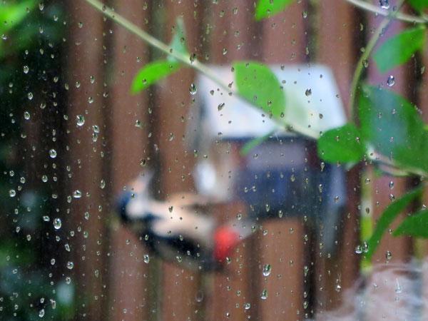 specht trotseert regen voor hapje