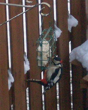Specht: Mr. Woody Woodpecker