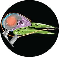 CT-scan van een spechtenkop - let op 'de tong'