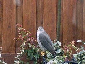 Zomaar een sperwer in de tuin? Een roofvogel?