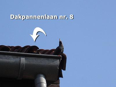 De spreeuwen hebben voor hun nest een plekje onder de dakpannen uitgezocht