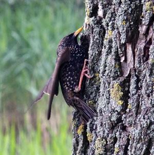 Spreeuw klimt over boomstam op zoek naar insecten voor zijn jongen