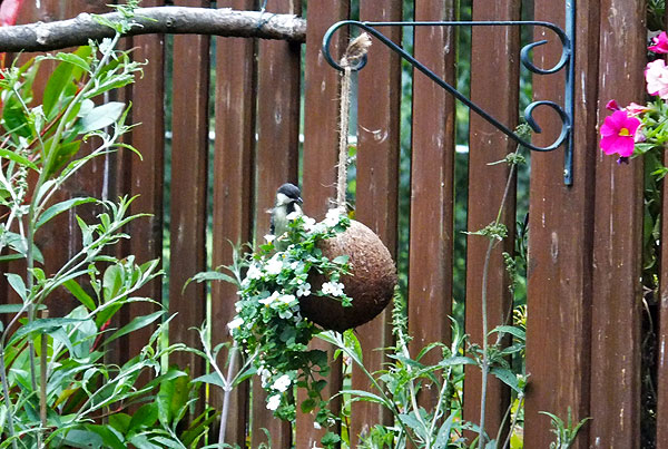 Gevulde kokosnoot van Vivara trekt vogels aan.