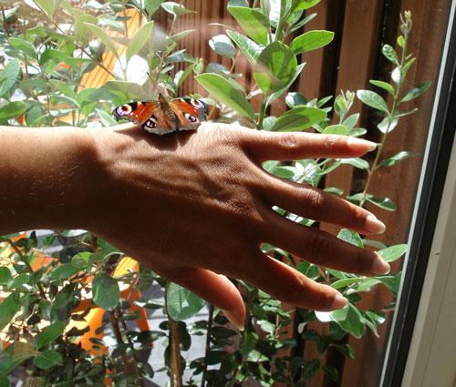 Dagpauwoogvlinder op hand