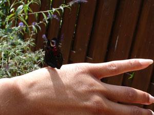 Dagpauwoogvlinder naar buiten brengen