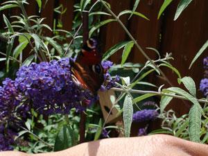 Dagpauwoogvlinder op vlinderstruik afgezet