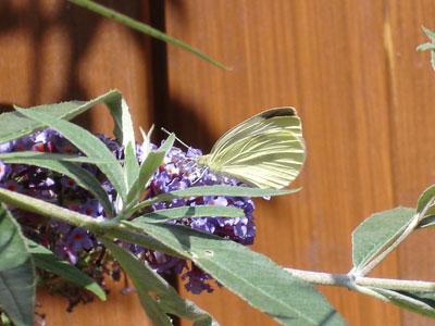 Vlinder op de vlinderstruik in de tuin