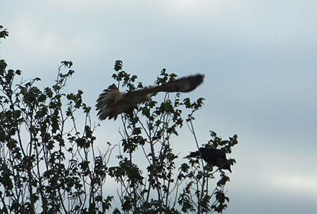 Altijd fascinerend, die roofvogels (witte buizerd)