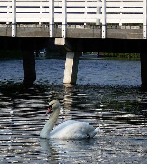 Witte swan - White swan
